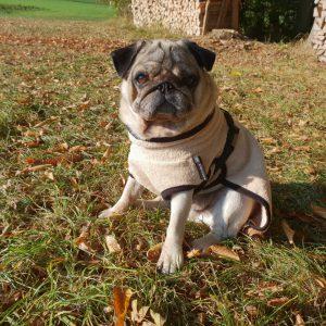 DryUp cape-Mops-Franzoesische Bulldogge-Frenchie-beige-Bademantel-Mantel-Trocknungsmantel-spezielle Groesse